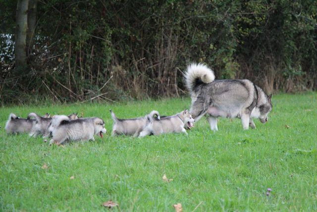 Puppies walks - De La Coleen d'Urok - The Alaskan Malamute