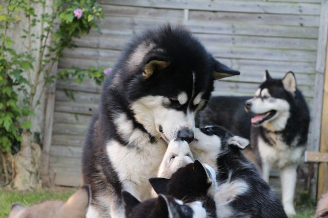 Guizmo and the puppies - De La Coleen d'Urok - The Alaskan Malamute